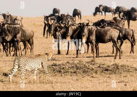 Cheetah (Acinonyx jubatus) confronting Wildebeests (Connochaetes Taurinus) - Stock Photo