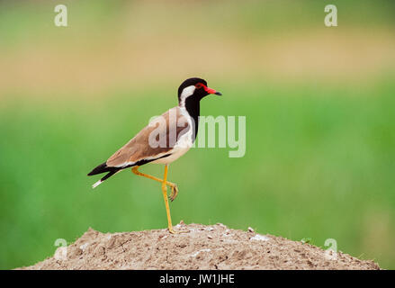 Red-wattled Lapwing, (Vanellus indicus), Keoaldeo Ghana National Park, Bharatpur, Rajasthan, India - Stock Photo