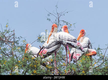 Painted Stork, (Mycteria leucocephala), Keoladeo Ghana National Park, Bharatpur, Rajasthan, India - Stock Photo