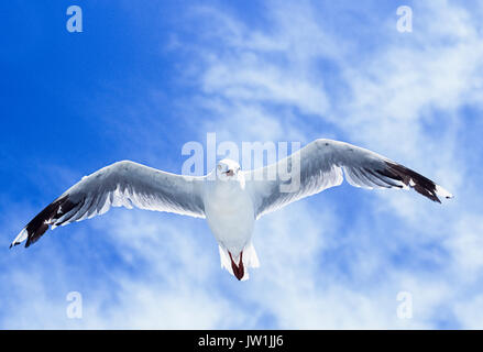 Silver Gull, (Chroicocephalus novaehollandiae), in flight, Byron Bay, New South Wales, Australia - Stock Photo