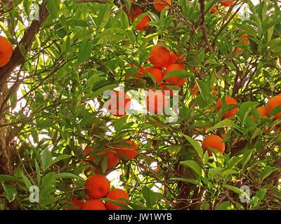 Mandarins on a branch - Stock Photo