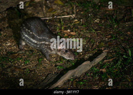 A Paca photographed in the Atlantic Rainforest of Brazil - Stock Photo