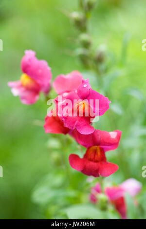 Antirrhinum majus. Pink Snapdragon flowers. - Stock Photo