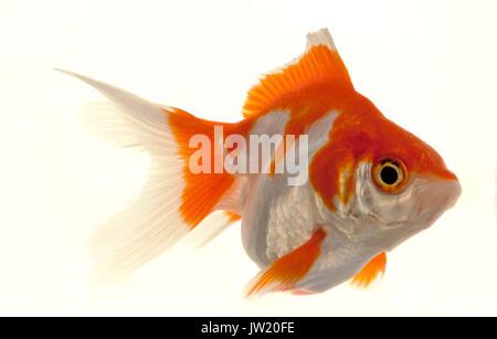 Isolated Approaching Goldfish swimming towards camera, close-up on white - Stock Photo