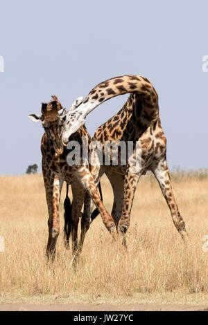Two young Masai Giraffe (Giraffa Camelopardalis tippelskirchi) fighting - Stock Photo
