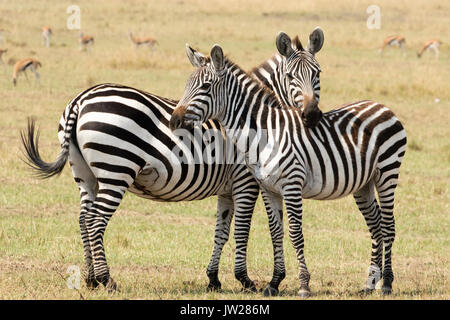 Sweet moment between Plain Zebra (Equus quagga) mother and young child, leaning on each other - Stock Photo