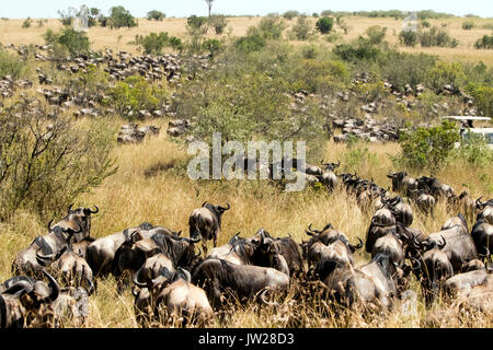 Western White-bearded Wildebeest (Connochaetes taurinus mearnsi) gathering near the river, about to cross the river - Stock Photo