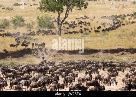 Western White-bearded Wildebeest (Connochaetes taurinus mearnsi) crossing the Sand River - Stock Photo