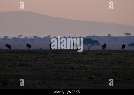 Western White-bearded Wildebeest (Connochaetes taurinus mearnsi) at dawn - Stock Photo