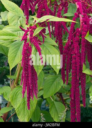 Amaranthus caudatus. love-lies-bleeding in summer border - Stock Photo