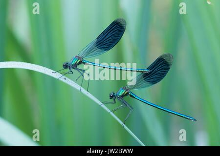 Two male banded demoiselles (Calopteryx splendens) on reed (Phragmites communis), Hesse, Germany - Stock Photo