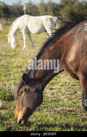 A white and a brown horses grazing on a field in Umbria (Italy). - Stock Photo