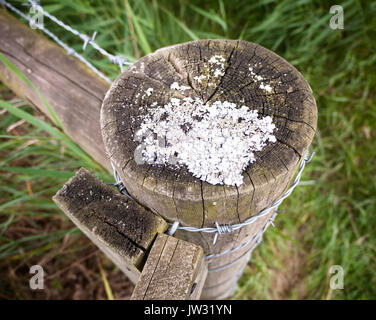 strange white moss fungus growing on a wooden post countryside outside; UK - Stock Photo