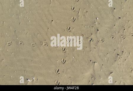 bird footprint in sand - Stock Photo