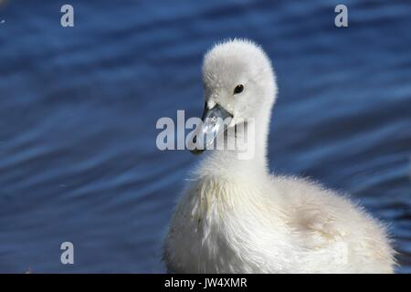 The ugly duckling - A little fluffy gray mute swan Cygnus olor cygnet - Stock Photo