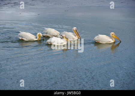 Flotilla of white pelicans fishing in pond, Ol Pejeta Conservancy, Kenya - Stock Photo