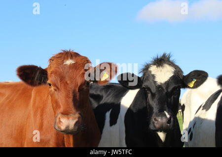 two beef cattle looking over barbed wire fence - Stock Photo
