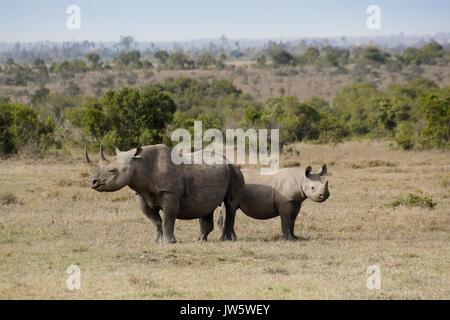 Black rhinoceros and calf, Ol Pejeta Conservancy, Kenya - Stock Photo