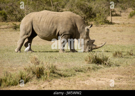 White rhinoceros grazing, cattle egret following for insects, Ol Pejeta Conservancy, Kenya - Stock Photo