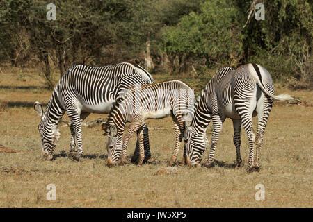 Grevy's zebras grazing, Samburu Game Reserve, Kenya - Stock Photo