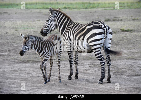 Common zebra (with old wound on haunch) with foal, Masai Mara Game Reserve, Kenya - Stock Photo