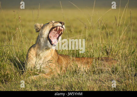 Lioness yawning, Masai Mara Game Reserve, Kenya - Stock Photo