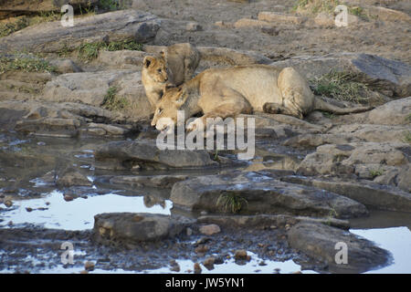 Lions drinking at pool of water in rocky area, Masai Mara Game Reserve, Kenya - Stock Photo