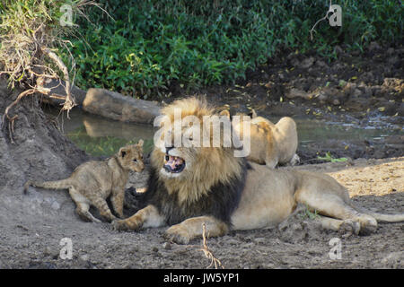 Male lion annoyed by his cub while lioness drinks from pool in background, Masai Mara Game Reserve, Kenya - Stock Photo
