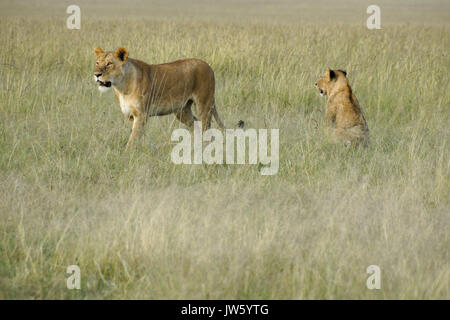 Two lionesses in long grass, Masai Mara Game Reserve, Kenya - Stock Photo