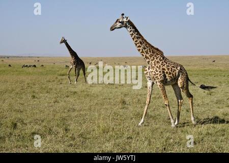 Masai giraffes walking on savannah, Masai Mara Game Reserve, Kenya - Stock Photo