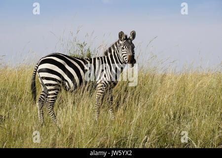 Burchell's (common or plains) zebra standing in long grass, Masai Mara Game Reserve, Kenya - Stock Photo