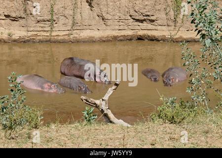 Hippos cooling off in Mara River, Masai Mara Game Reserve, Kenya - Stock Photo
