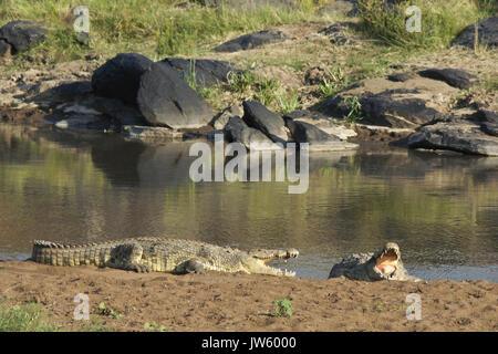 Nile crocodiles sunning on bank of Mara River, Masai Mara Game Reserve, Kenya - Stock Photo