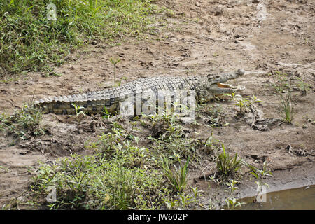 Nile crocodile sunning on bank of Mara River, Masai Mara Game Reserve, Kenya - Stock Photo