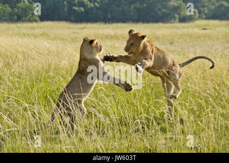 Lion cubs playing in long grass, Masai Mara Game Reserve, Kenya - Stock Photo