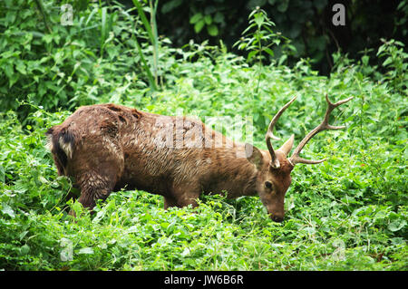 The Sika Deer, Cervus nippon, also known as the Spotted Deer or the Japanese Deer, is a species of deer native to - Stock Photo