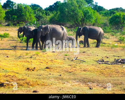 Sri lanka: group of elephants in Pinnawala - Stock Photo
