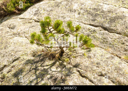 Hardship and survival concept. Young pine tree struggles to survive while growing in a rock. Photographed in the - Stock Photo