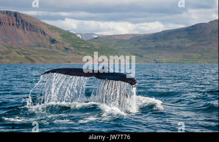 Humpback tail fluke as a humpback dives in Eyjafjordur Fjord in northern Iceland. - Stock Photo