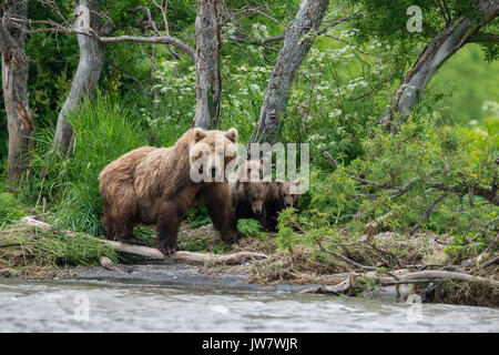 Mother brown bear and her four cubs looking for sockeye salmon on the banks of the Ozernaya River, Kamchatka, Russia. - Stock Photo