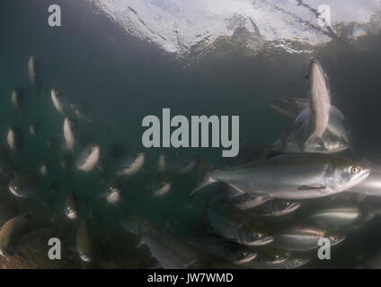 Underwater view of a school of sockeye salmon migrating up the Ozernaya River to spawn. - Stock Photo