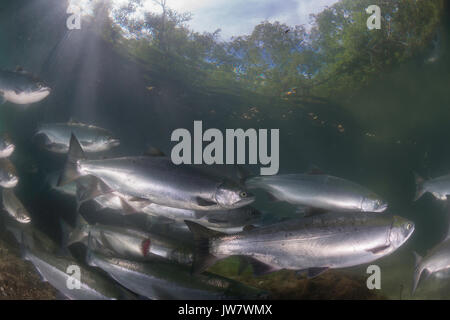 Underwater view of a school of sockeye salmon migrating up the Ozernaya River to spawn. One of the salmon has a - Stock Photo