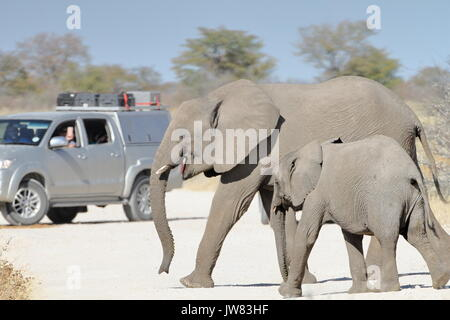 Two elephants crossing the dirt road while a safari car stopping to give it the way. - Stock Photo