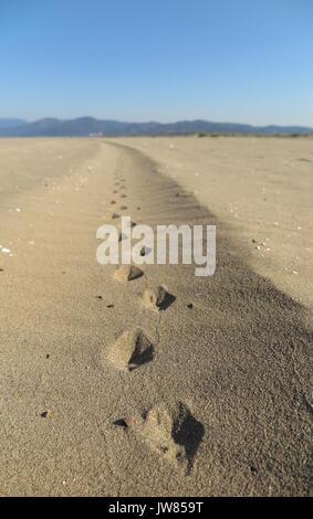 fox footprint in sand - Stock Photo