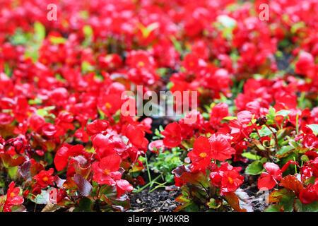 Bright red flowers of tuberous begonias Begonia tuberhybrida in garden - Stock Photo