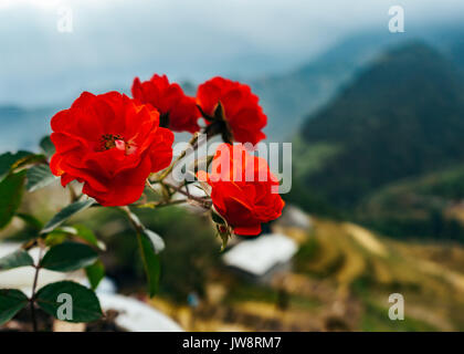 Red flowers in front of terraced rice fields, Muong Hoa valley, Vietnam - Stock Photo