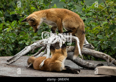 Red fox kits play at the McNeil River State Game Sanctuary on the Kenai Peninsula, Alaska. The remote site is accessed - Stock Photo