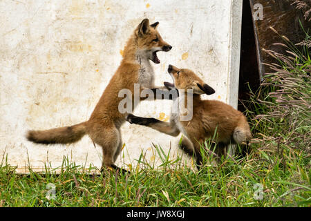 A red fox kits play at the McNeil River State Game Sanctuary on the Kenai Peninsula, Alaska. The remote site is - Stock Photo