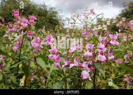 Himalayan Balsam Impatiens glandulifera