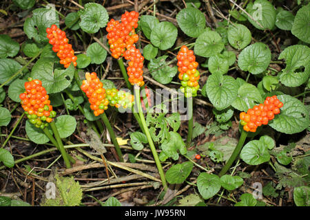 Lords & Ladies a.k.a. Wild Arum Arum maculatum - Stock Photo
